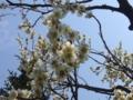 [自然][花]白梅(ピンボケ)