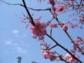 [自然][花]紅梅1