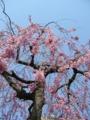 [自然][花][桜]しだれ桜1