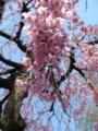 [自然][花][桜]しだれ桜2