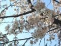 [自然][花][桜]桜5