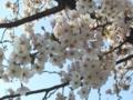 [自然][花][桜]桜4