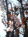 [自然][花][桜]ヤマザクラ