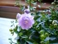 [花]カンパニュラ2