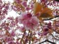 [花][桜][自然]八重桜2