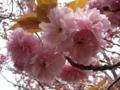 [花][桜][自然]八重桜1