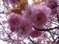 [花][桜][自然]八重桜3