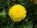 [自然][花]たんぽぽ2