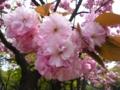 [自然][花][桜]八重桜6