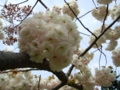 [花][桜][自然]八重桜4