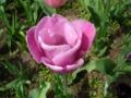 [自然][花]チューリップ1
