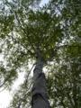 [自然][樹]白樺2