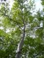 [自然][樹]白樺1