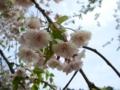 [花][桜][自然]八重桜5