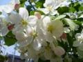 [自然][花]姫りんごの花