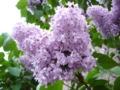 [花][自然][樹]ライラックの花