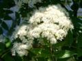 [花][自然][樹]ナナカマドの花