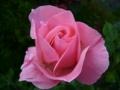 [花][自然]ピンクのバラ1