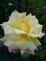 [花][自然]黄色のバラ2