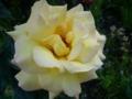 [花][自然]黄色のバラ1