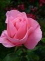 [花][自然]ピンクのバラ2