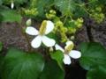 [花][自然]ドクダミの花