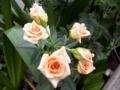 [花][自然]薄いオレンジのバラ2