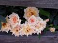 [花][自然]薄いオレンジのバラ1