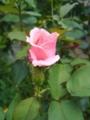 [花][自然]ピンクのバラ
