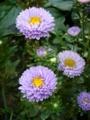 [花][自然]夏の菊1