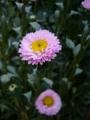 [花][自然]夏の菊2
