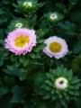 [花][自然]夏の菊3