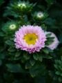 [花][自然]夏の菊4