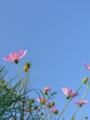 [花][秋][空]コスモスと青空