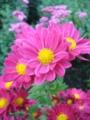 [花]ピンクの菊1