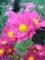 ピンクの菊1