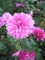 [花]ピンクの菊2