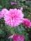 ピンクの菊2
