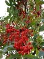 [自然][樹][秋]ナナカマドの実
