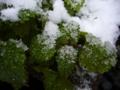 [自然][雪][冬]雪の中1