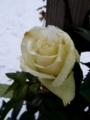 [花][冬][雪]雪をかぶった白いばら