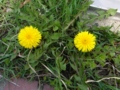 [花][自然][春]たんぽぽ