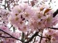 [花][自然][春][桜]ヤマザクラ1