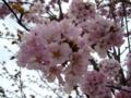 [花][自然][春][桜]ヤマザクラ2