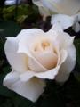 [花][自然]今年のばら1