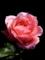 ピンクのばら