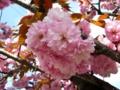 [花][桜][春]八重桜