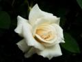 [花][自然]ばら白