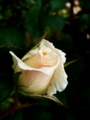 [花][自然]ばら白つぼみ