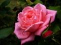[花][自然][雨]ピンクのばらとしずく